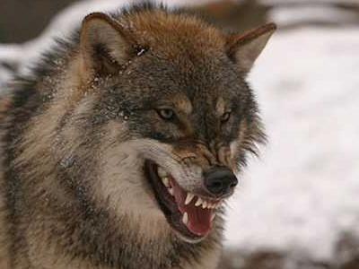 wolf 400x300